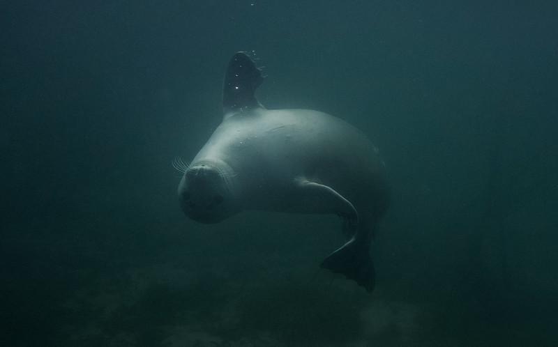 Pierowall Seals, Isle of Westray