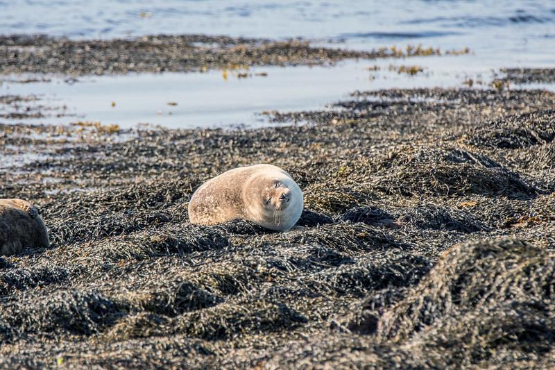 Seal at Pierowall, Westray. May 2016