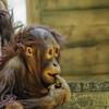 Orangutan - Juvenile