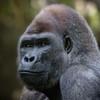 Silverback Gorilla - Male