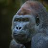 Silverback Gorilla - Male II
