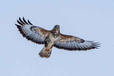 Bitton Buzzard