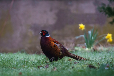 Morning Pheasant