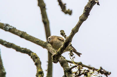 My first goldcrest shot, however, not that great. Newton St Loe 17/4/17