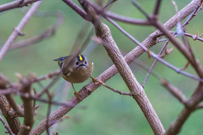 Goldcrests in the Garden