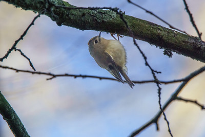 Goldcrest at Keynsham 7/1/18