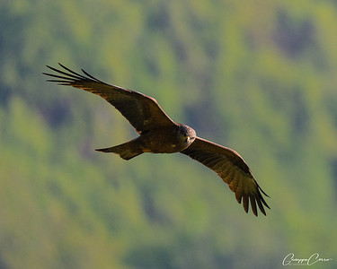 Black Kite, Canton Ticino, Switzerland