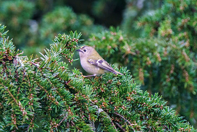 Goldcrest, St Annes Church 6/1/18