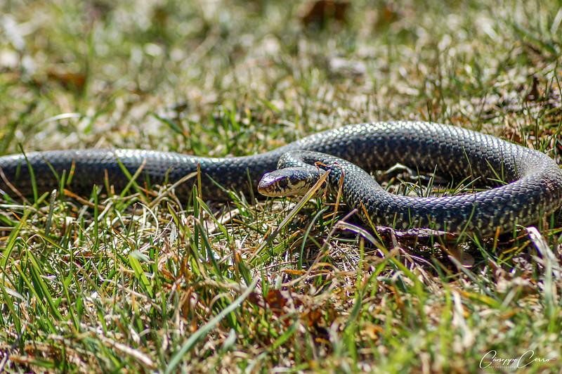 Green whip snake - Biacco, Canton Ticino, Switzerland