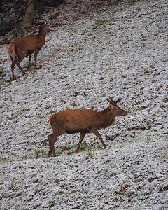 Deer - Cervo, Canton Ticino, Switzerland