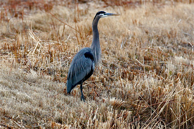1) IMG_Blue Heron on Guard 6098