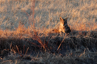 3) IMG_Coyote on the Hunt 7211_2