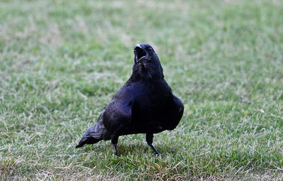 Crows , Grackles, Blackbirds