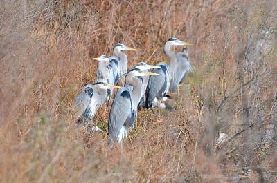 Herons