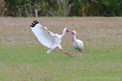Ibis, Wood Stork, Spoonbill, Bittern