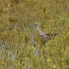 Yellowlegs