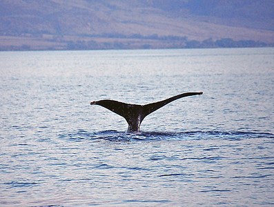 Humpback tail, Maui, Hawaii