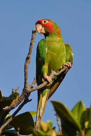 So. Cal wild parrot