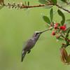 Hummingbird_SS1018