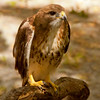 Red-tailed Hawk SS0797