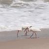 White Ibis SS1325
