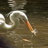 Great White Egret SS1688