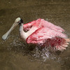 Roseated Spoonbill SS1965