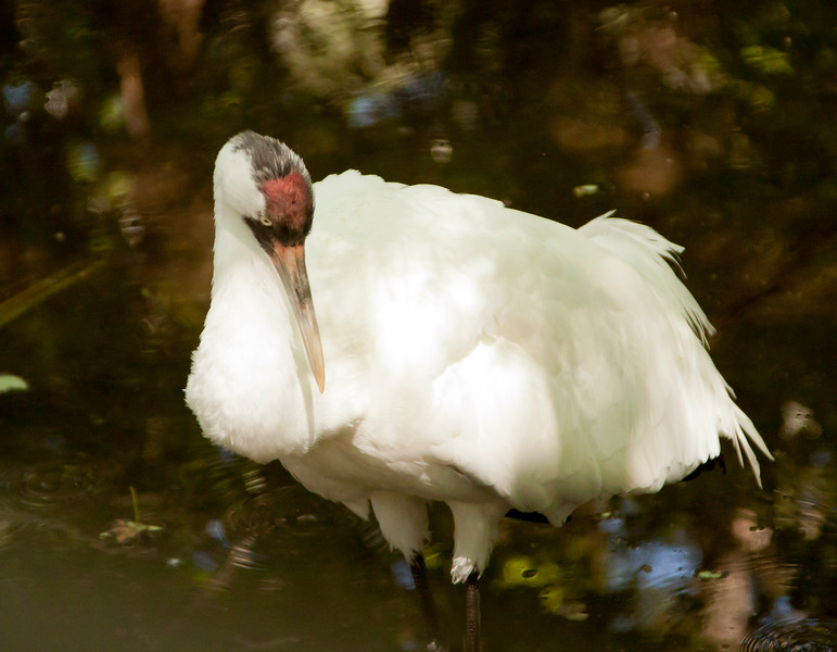 Whooping Crane SS0758