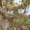 Eurasia Doves