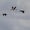 Ironhead Storks