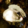 Whooping Crane SS0771
