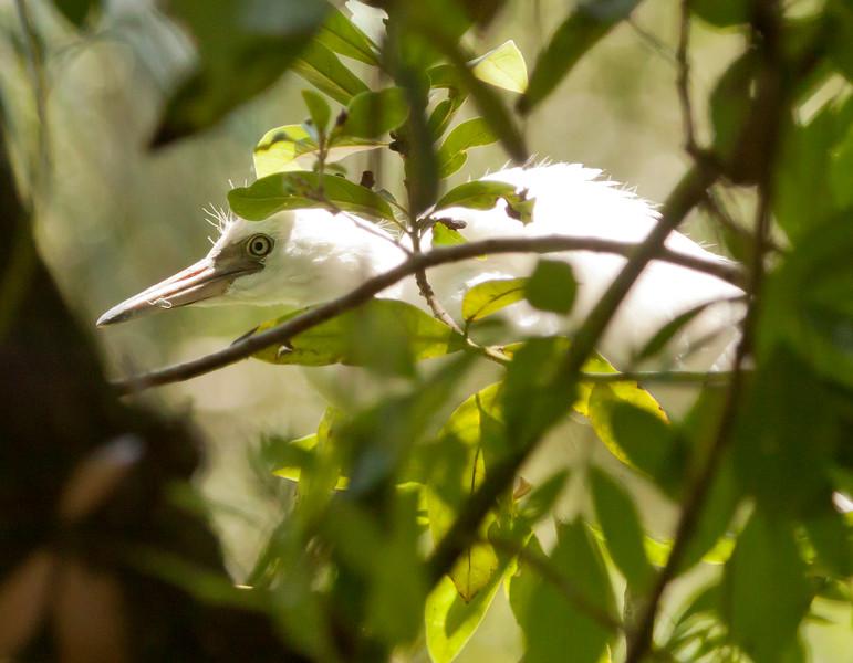 White Egret Chick