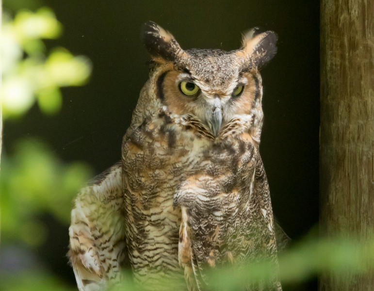 Great Horned Owl SS1627