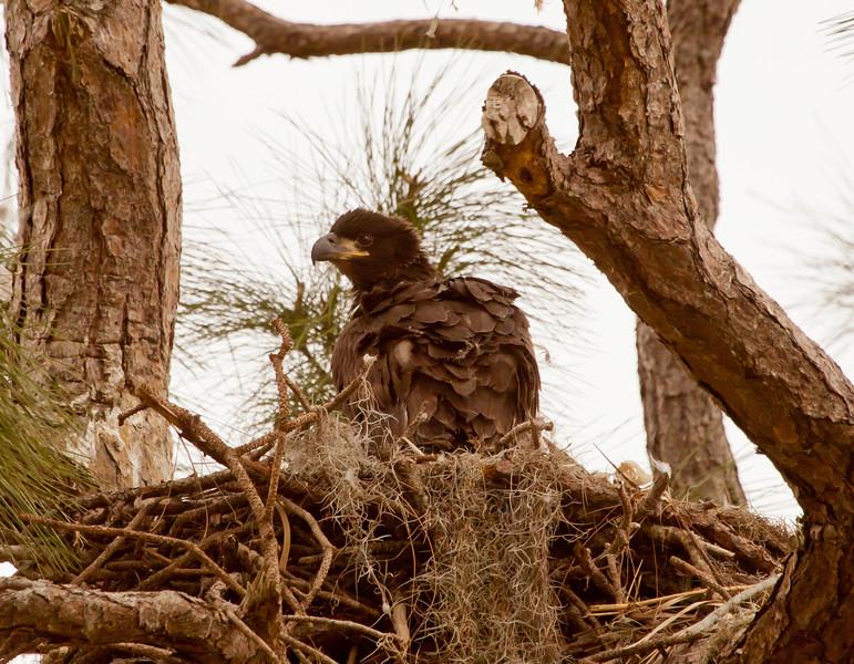 Juvenile Bald Eagle57972