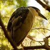 Yellow-crowned Night Heron SS1021