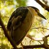 Yellow-crowned Night Heron SS1021