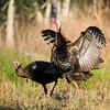 Osceola Wild Turkey Gobblers