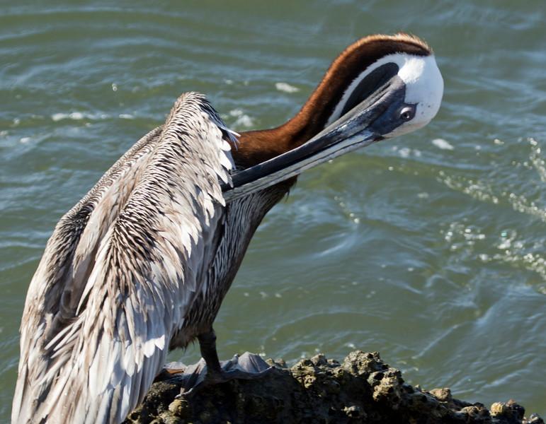 Brown Pelican SS02561