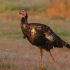 Juvenile Osceola Turkey (Jake)