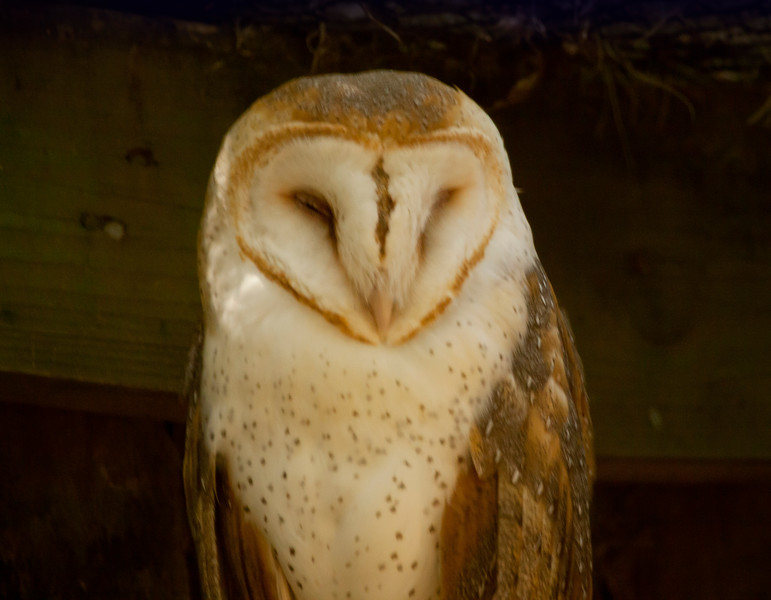 Barn Owl_SS141794c_