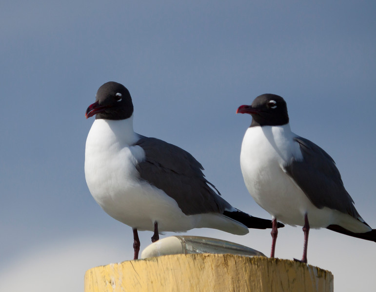 LaughingGulls_07169