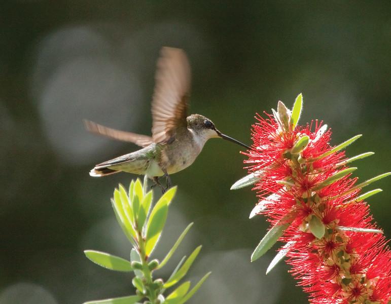 Hummingbird_SS8015
