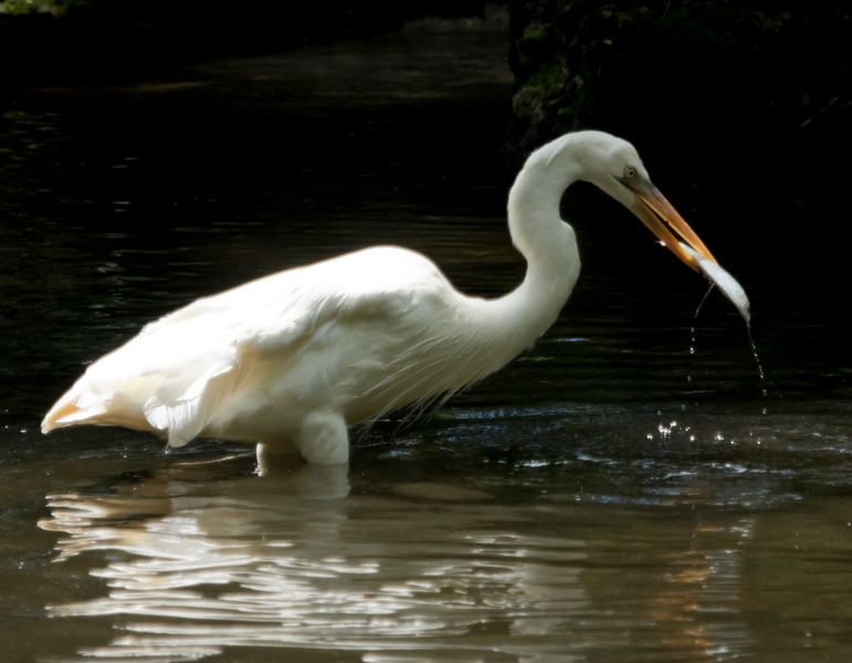 Great White Egret SS1725