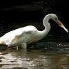 Great White Egret SS1725