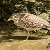 Juvenile Yellow-crowned Night Heron SS1820