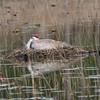Sandhill Crane on Nest
