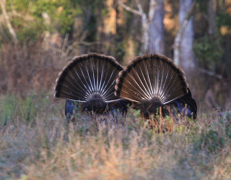 Osceola Turkey Gobblers