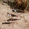 Black-necked Stilt SS00861