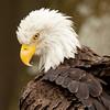 Bald Eagle 54377