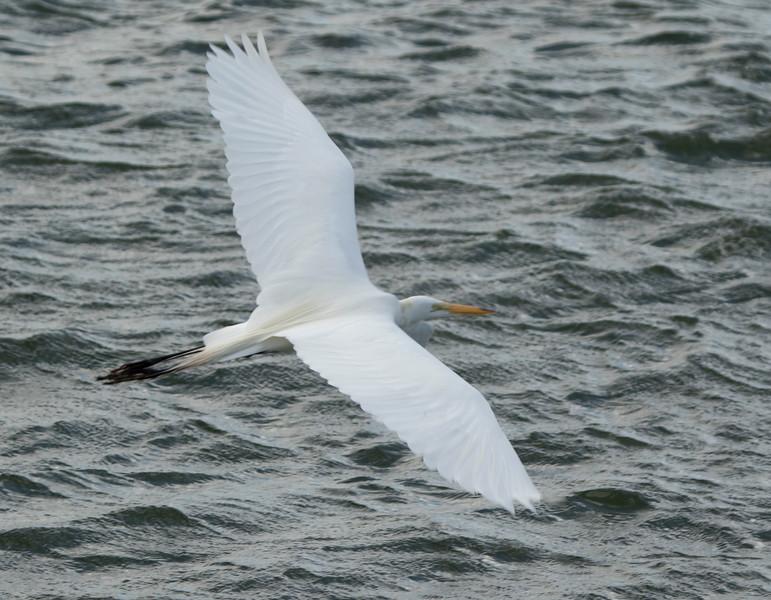 Great White Egret SS02506